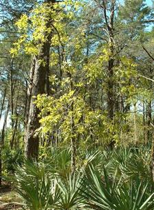 Wild Osceola Turkey Habitat
