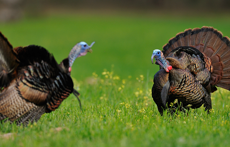 photographing wild turkeys with Tes Jolly